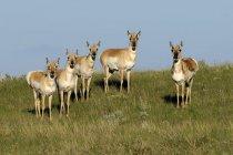 Pronghorn Antilopen grasen in Alberta, Kanada — Stockfoto