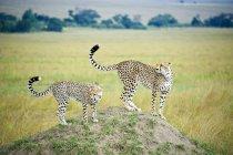 Ghepardi adulti e giovani caccia da termite mound, riserva di Masai Mara, Kenya, Africa orientale — Foto stock