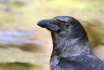 Ritratto del primo piano dell'uccello del corvo nero americano — Foto stock