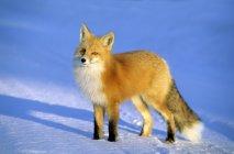 Adultos red fox em pé na neve na luz solar. — Fotografia de Stock