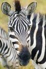 Закри рівнини Зебра рівнинах Серенгеті, Східна Африка, Кенія — стокове фото