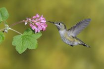 Female Anna Hummingbird feeding at flower, close-up. — Stock Photo