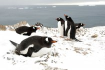 Gentoo penguins incubating on shore at Antarctic Peninsula, Antarctica — Stock Photo