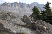 Bighorn овец ОЗУ покоится на альпийских mountaintop в национальном парке Джаспер, Альберта, Канада. — стоковое фото