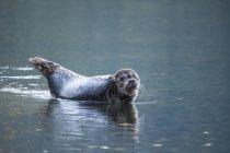 Phoque commun couché dans l'eau et regardant à la caméra . — Photo de stock