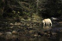 Медведь Kermode, ходьба в воде в Большая Медведица Rainforest Британской Колумбии, Канада — стоковое фото