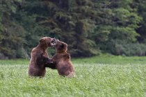 Grizzly bears sparring on grass in Great Bear Rainforest, Colombie-Britannique, Canada — Photo de stock