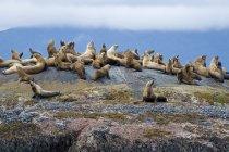 Colony of sea lions resting on rocks, Gwaii Haanas, Haida Gwaii, British Columbia, Canada — Stock Photo