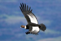 Andean condor flying in blue sky over Torres del Paine National Park, Patagonia, Chile — Stock Photo