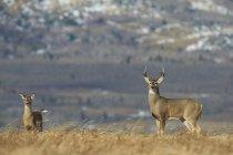 Білий хвіст оленя бак і doe з гір у фоновому режимі — стокове фото