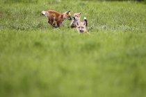 Комплекти Фокс грає в зеленому полі — стокове фото