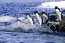 Group of Adelie penguins jumping from rocks to water for foraging trip, Antarctic Peninsula. — Stock Photo