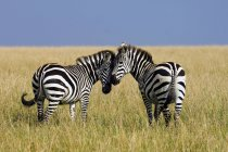 Female plains zebras mutually grooming in meadow of Masai Mara Reserve, Kenya, East Africa — Stock Photo