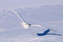 Охота Снежный филин в полете над снежной прерии — стоковое фото