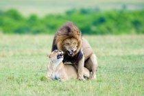 Paarungslöwen auf der Wiese des Masai-Mara-Reservats, Kenia, Ostafrika — Stockfoto