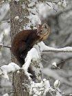 Martre d'Amérique regarder d'arbre hivernal en Alberta, Canada — Photo de stock