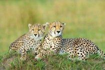 Dos guepardos descansando en montículos de termitas en Masai Mara reserva, Kenia, África del este - foto de stock