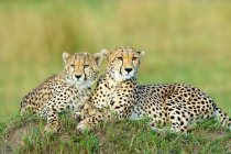 Two cheetahs resting on termite mound in Masai Mara Reserve, Kenya, East Africa — Stock Photo