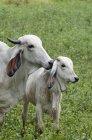Велика рогата худоба в сільськогосподарських угідь в Ґуанакасте провінція Коста-Ріка. — стокове фото
