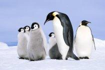 Pinguino imperatore adulto e pulcini sulla neve sull'isola di Snow Hill, mare di Weddell, Antartide — Foto stock