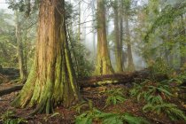 Old growth cedar trees, Lighthouse Park, West Vancouver, British Columbia, Canada — Stock Photo