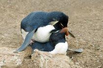 Mating rockhopper penguins at Falkland Islands, Southern Atlantic Ocean — Stock Photo