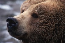 Brown grizzly bear looking away, close-up portrait. — Stock Photo