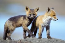 Red fox pups looking in camera while playing outdoors. — стоковое фото