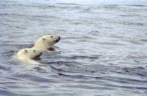 Полярний ведмідь з ведмежам плавання у воді Ukkusiksalik Національний парк, Сполучені Штати Америки — стокове фото