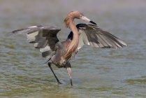 Aigrette roussâtre avec des ailes déployées à pied dans l'eau — Photo de stock
