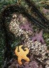 Stelle marine e alghe con la bassa marea, isola di Vancouver, Columbia britannica, Canada — Foto stock