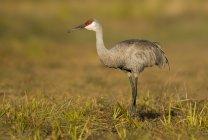 Sandhill crane standing in green meadow grass — Stock Photo