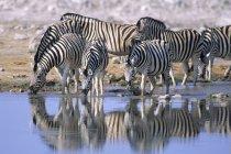 Zebre di pianura che beve al waterhole nel Parco nazionale di Etosha, Namibia — Foto stock