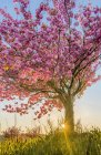 Cherry tree in bloom in Courtenay, British Columbia, Canada — Stock Photo