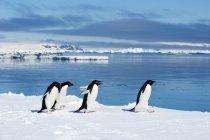 Pinguins de Adelie vadiando na borda de água, ilha da madeira, Península Antártica de gelo — Fotografia de Stock