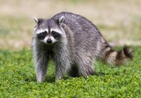 Raccoon standing on green meadow grass — Stock Photo