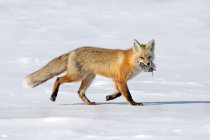 Red fox walking and carrying prey in snow. — Stock Photo
