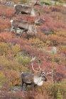 Barren-ground caribou bulls grazing on autumnal tundra, Northwest Territories, Canada — Stock Photo