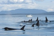 Orcas residente sur abordar barco turístico por la isla de Pender en Canadá - foto de stock