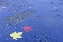 Ahornblätter von dünner Eisschicht eingefangen. — Stockfoto