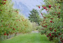Apples on trees in orchard in Cawston, Similkameen region of British Columbia, Canada — Stock Photo