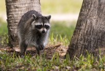 Raccoon standing on grass between trees outdoors — Stock Photo