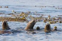 Leoni marini stellari in acqua, Gwaii Haanas, Haida Gwaii, Columbia Britannica, Canada — Foto stock