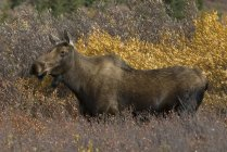 Alce di mucca in fitte betulle nane e arbusti del Denali National Park, Alaska, USA — Foto stock