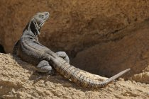 Cape spiny-tailed iguana standing on rocks in Tucson, Arizona, USA — Stock Photo