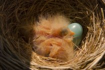 Robin chicks in nest with egg, close-up — Stock Photo
