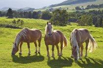 Три лошади бельгийский проект в зеленых пастбищ. — стоковое фото