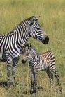 Plains zebra with colt on pasture of Masai Mara Reserve, Kenya, East Africa — Stock Photo