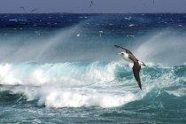 Laysan albatrosse fliegen über ozeanbrandung auf hawaii, usa — Stockfoto