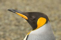 Portrait of adult king penguin on beach near Punta Arenas, Chile — Stock Photo